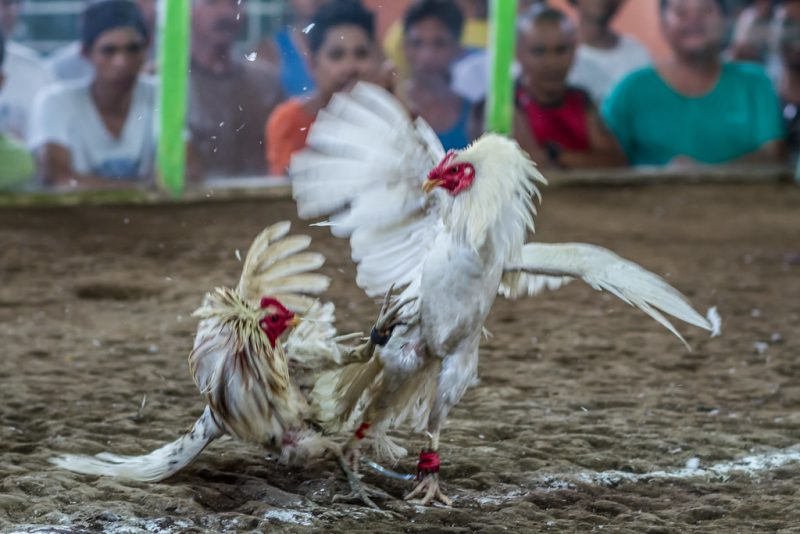 Ciri-ciri Sabung Ayam di Situs S128 yang Paling Aman